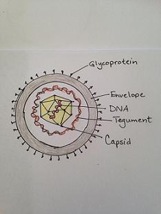 Varicella Virus Structure