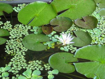 Water Lily Adaptations: Lesson for Kids   Study.com
