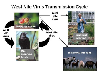 Diagram of the transmission cycle of West Nile virus