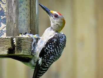 Woodpecker Facts: Lesson for Kids | Study com