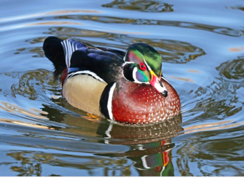 Wood Duck in Shallow Water