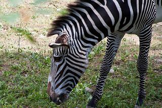 What Do Zebras Eat? - Lesson for Kids | Study com