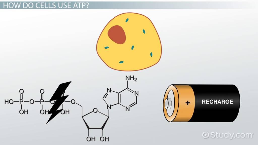 ATP: Definition & Molecules - Video & Lesson Transcript | Study.com