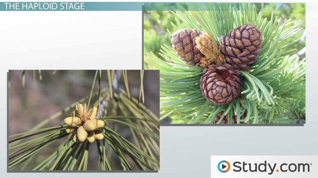 A Gymnosperm Life Cycle Reproduction Of Plants With Naked Seeds