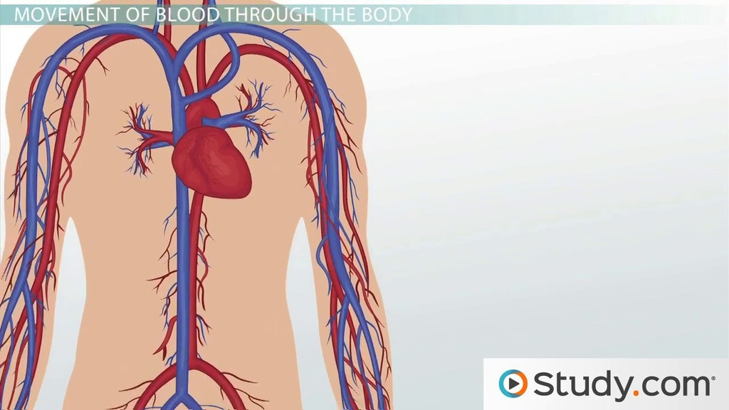 Circulatory System Ii The Human Vascular System Video Lesson