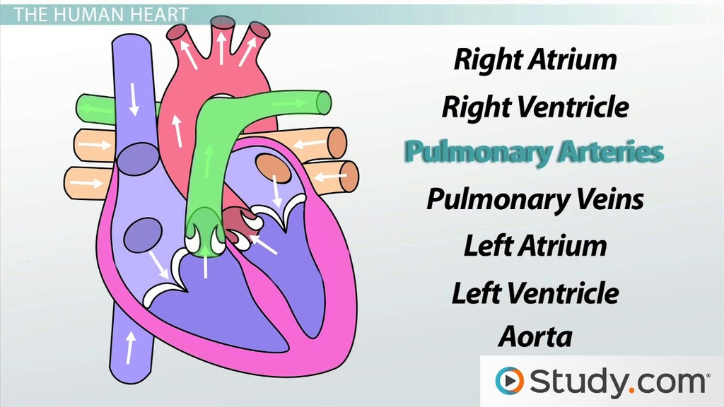 Circulatory System Iii The Heart Video Lesson Transcript