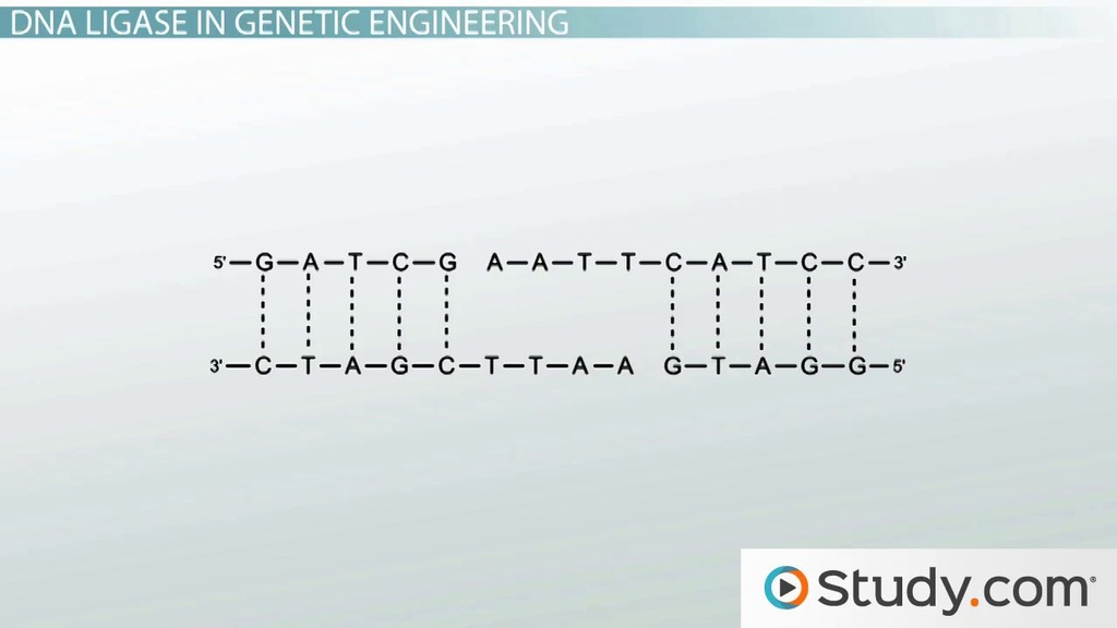 How Ligase is Used to Engineer Recombinant DNA - Video & Lesson ...