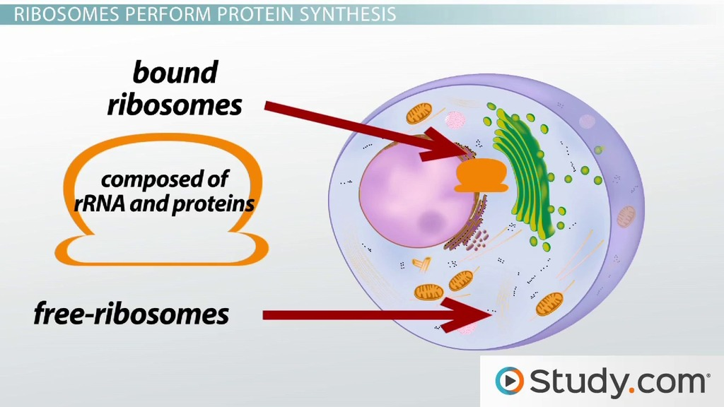 The Ribosome Structure Function And Location Video Lesson