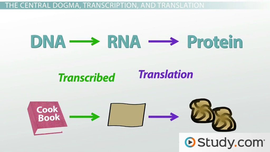 Protein Synthesis In The Cell And The Central Dogma Video Lesson