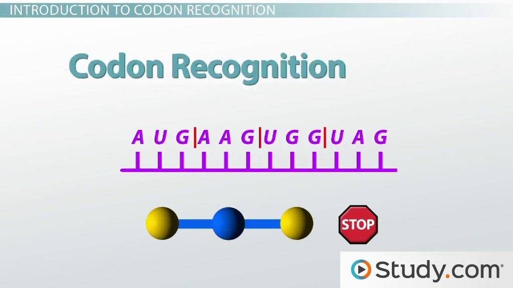 How Many Codons Are Needed To Specify Four Amino Acids Part - 17: Making Sense of the Genetic Code: Codon Recognition - Video u0026 Lesson  Transcript | Study.com
