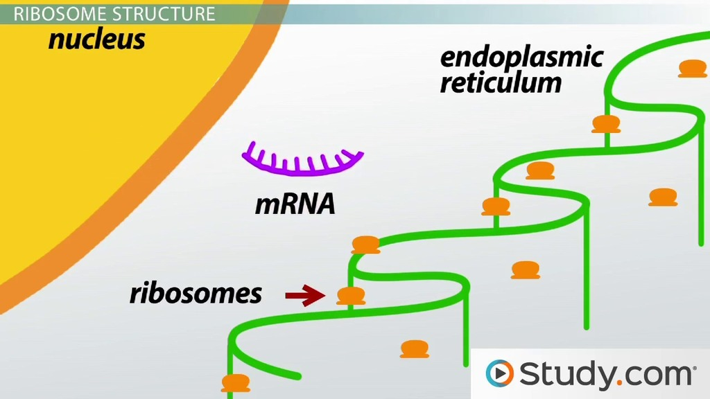 The Role Of Ribosomes And Peptide Bonds In Genetic Translation