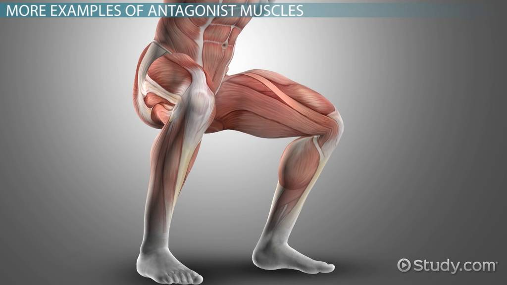Antagonist Muscle Definition Examples Video Lesson Transcript