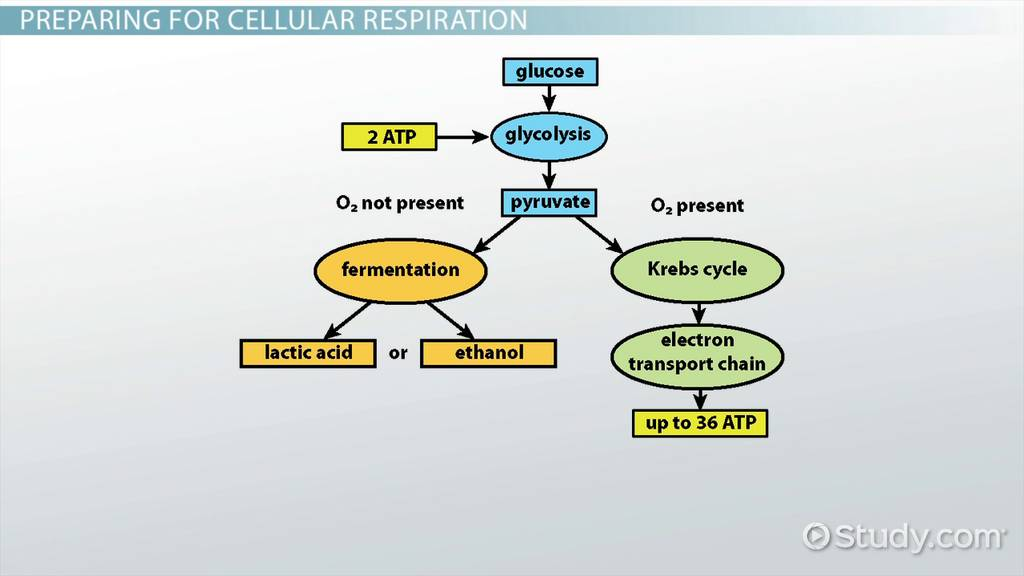 Process Of Cellular Respiration In Bacteria Video Lesson