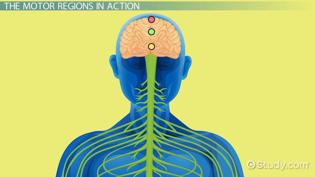 Primary Motor Cortex: Location & Function - Video & Lesson ...