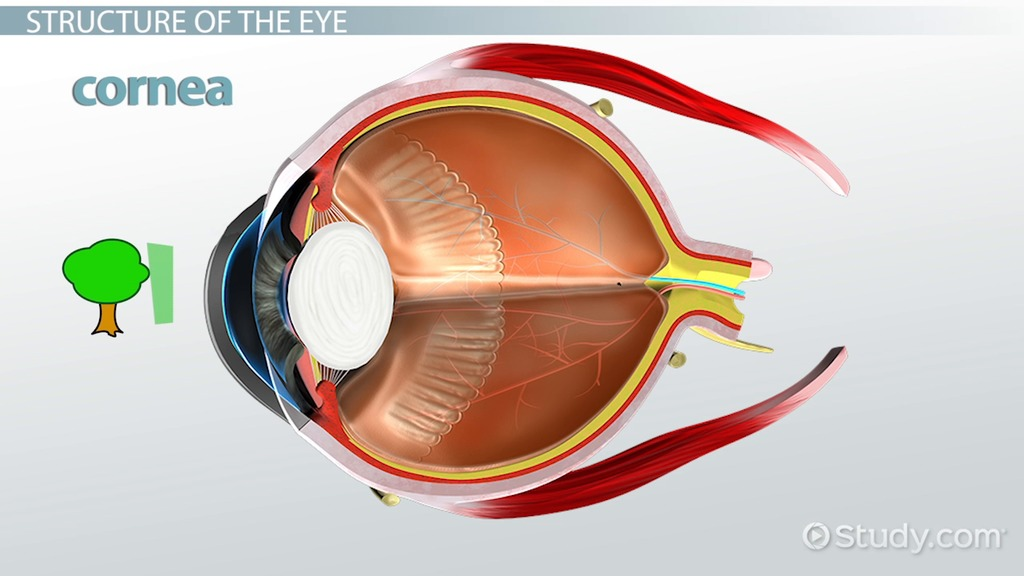 Cornea: Definition & Function - Video & Lesson Transcript | Study.com