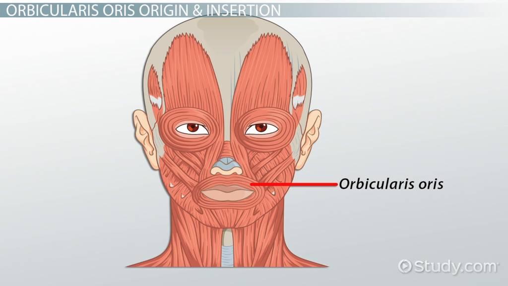 orbicularis oris action origin insertion video with