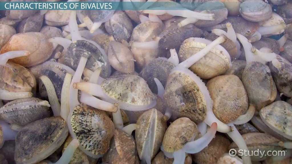 what are bivalves