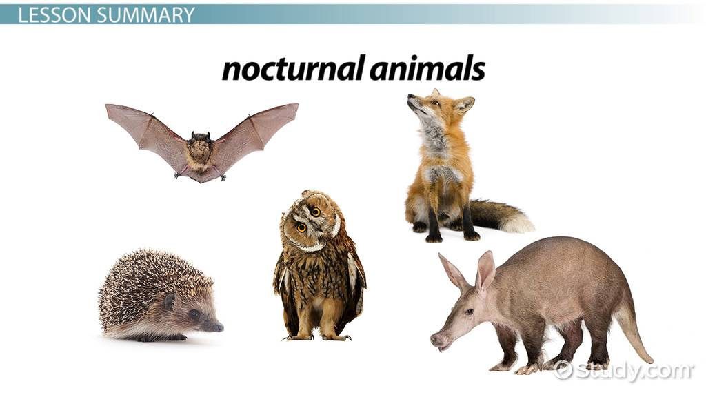 Facts About Nocturnal Animals Lesson For Kids Video