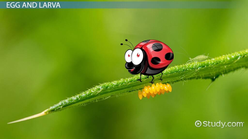 Ladybug Life Cycle Lesson For Kids Video Lesson Transcript Study Com
