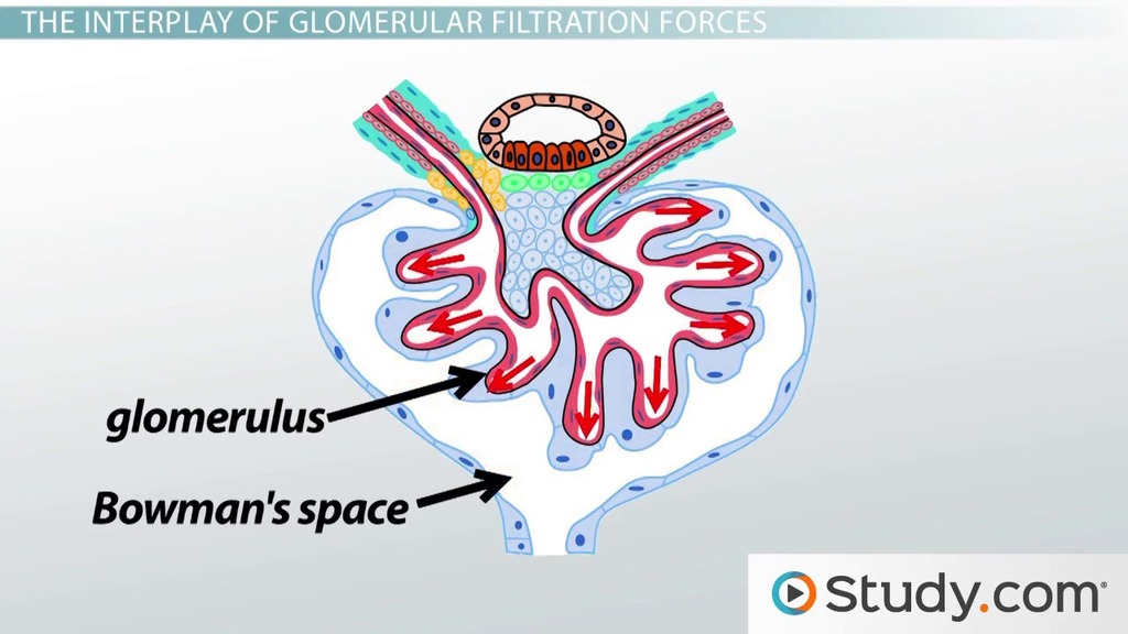 What is the Glomerular Filtration Rate? - Definition, Function ...
