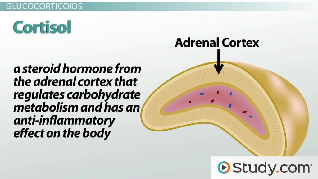 Adrenal Cortex Glucocorticoids And Androgens Video Lesson