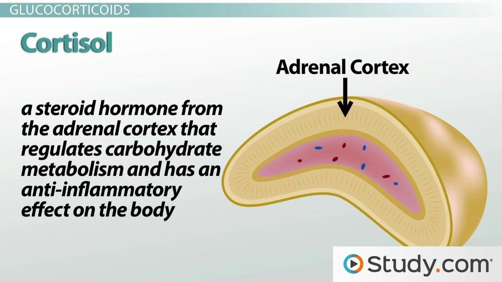 Adrenal Cortex Glucocorticoids And Androgens Video Lesson