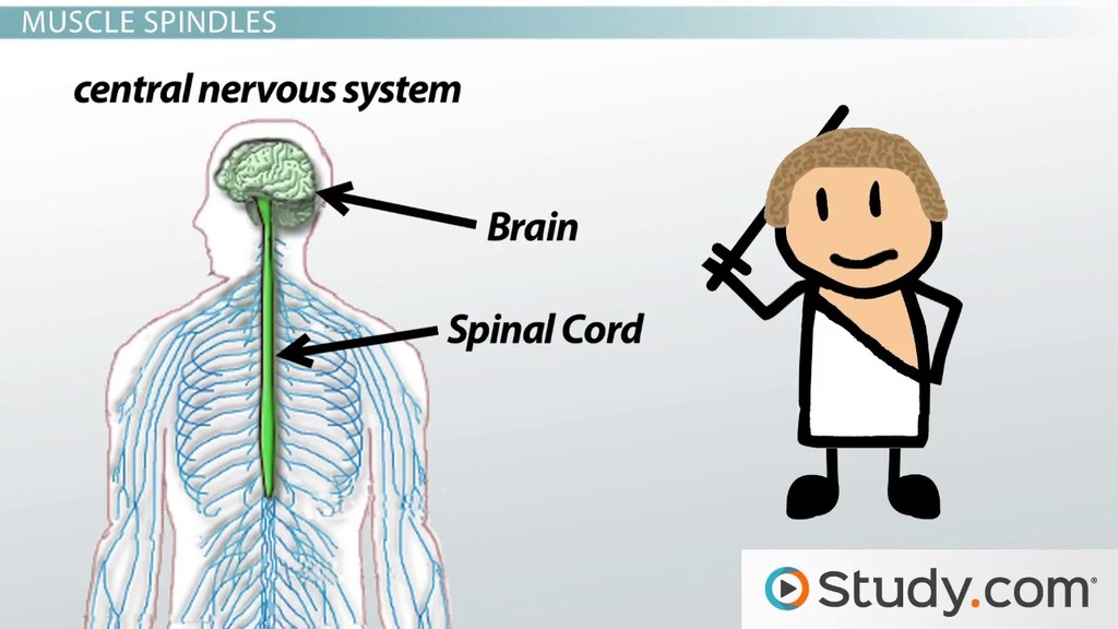 Sensory Nerves And Receptors Of Muscles And Tendons Video Lesson