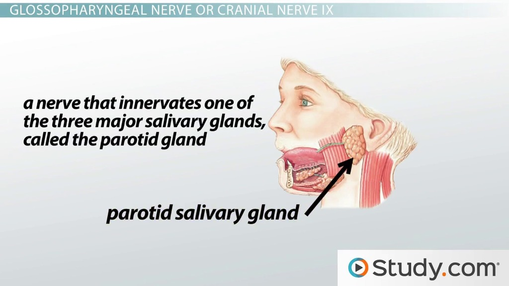 Cranial Nerves Of The Face And Mouth Motion And Sensation