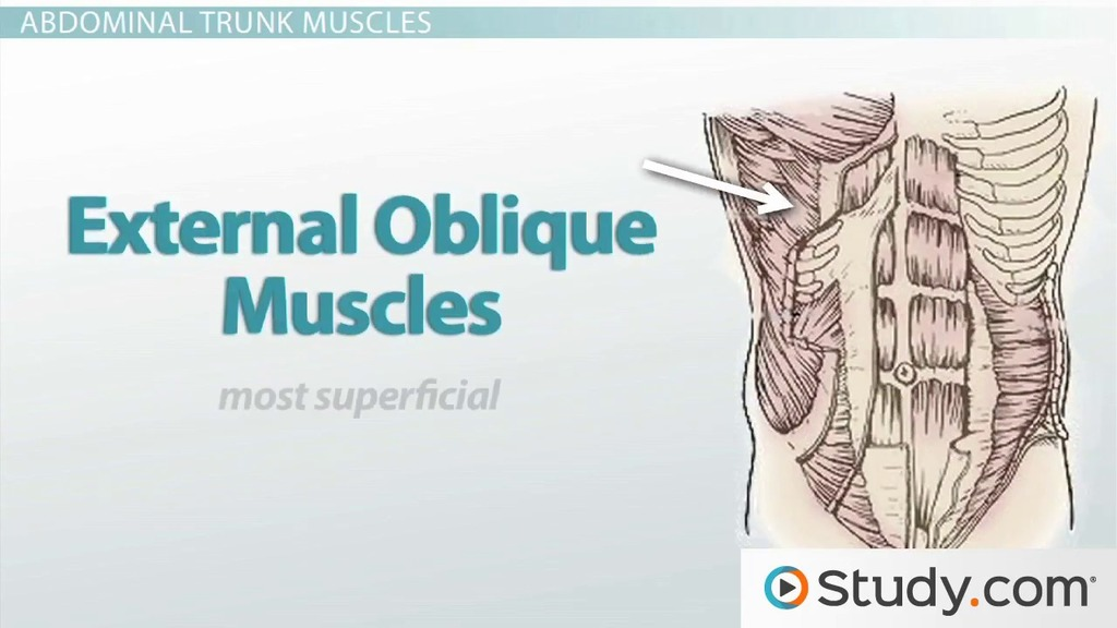 Axial Muscles Trunk Muscles Anatomy Support Video Lesson