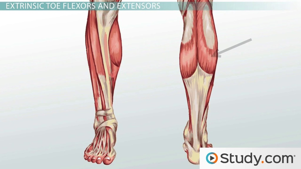 Leg Muscles: Anatomy, Support & Movement - Video & Lesson Transcript ...