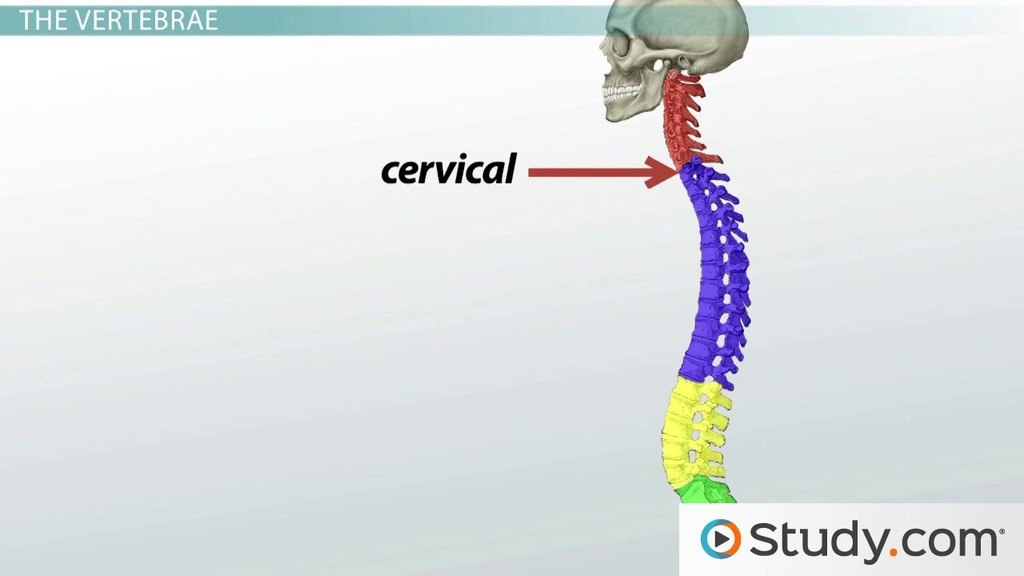 Bones Of The Vertebral Column And Ribs Definition And Function