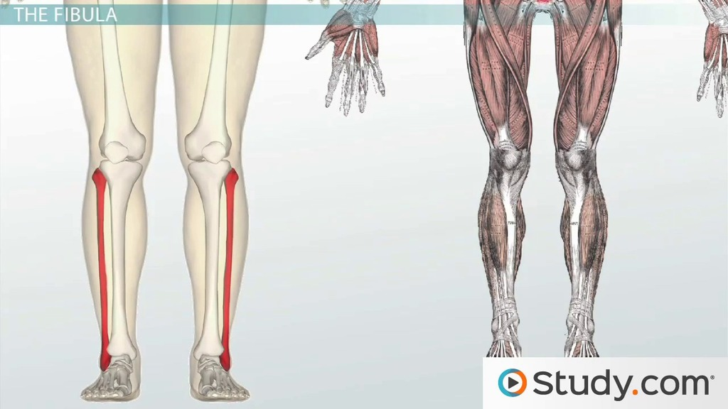 Bones of the Leg and Foot: Names, Anatomy & Functions - Video ...