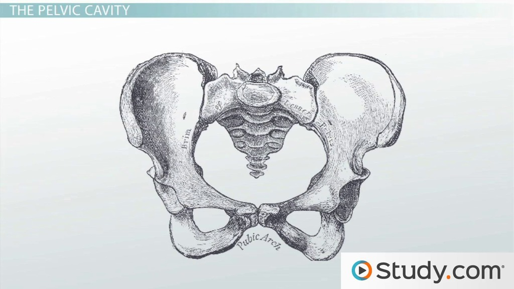 bones of the pelvis  definition and function