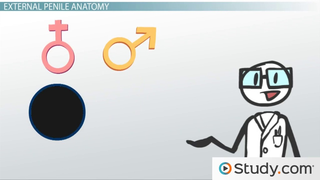 Male Reproductive System: External Anatomy - Video & Lesson ...