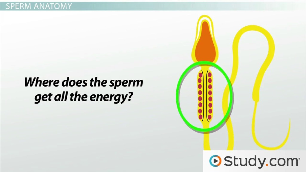 Spermatogenesis How The Male Reproductive System Produces Sperm