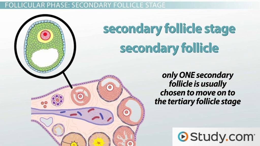 Follicular Phase Of The Ovarian Cycle Video Lesson Transcript