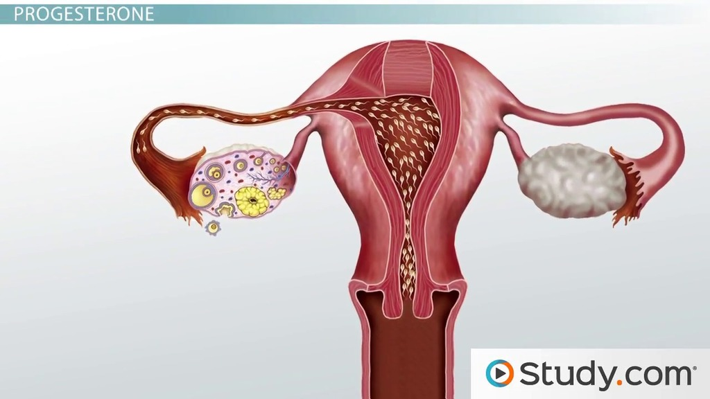 The Uterine Cycle: Phases and Endometrial Changes - Video & Lesson ...