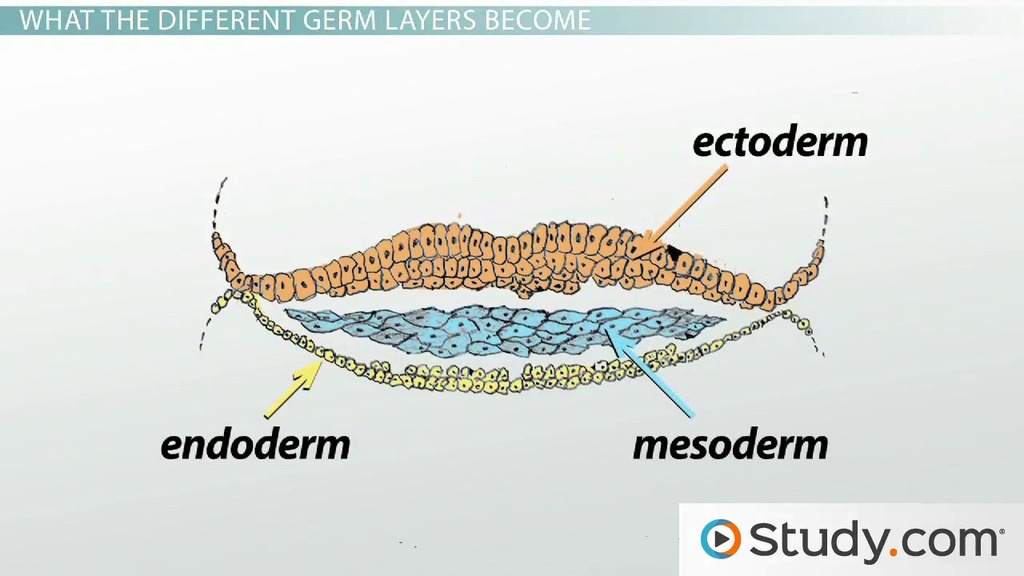 Gastrulation and the 3 Germ Layers (Ectoderm, Endoderm & Mesoderm ...