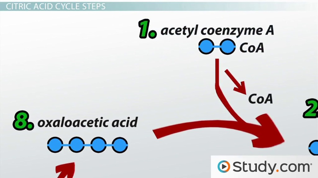 The Citric Acid Krebs Cycle Products And Steps Video Lesson Transcript Study Com