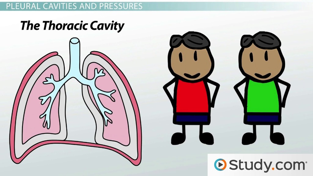 Function of Pleural Cavities and Pleural Membranes - Video & Lesson ...