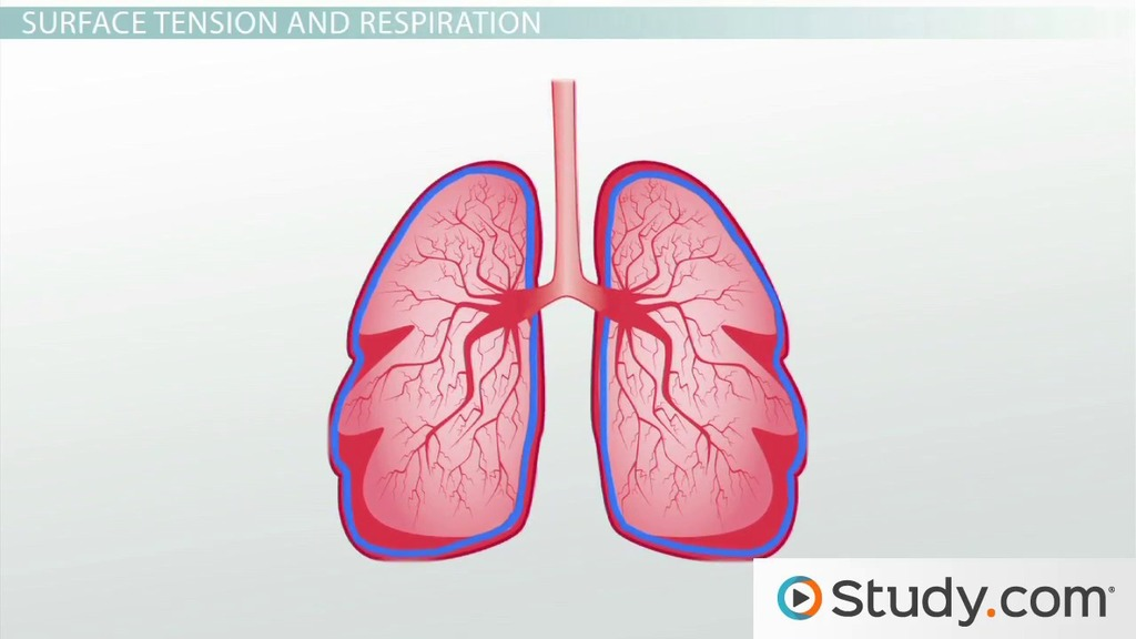 The Respiratory Surface and Gas Exchange Efficiency - Video ...