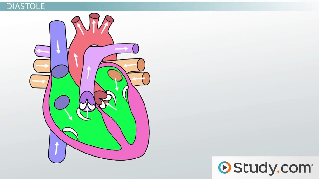 Anatomy of the heart blood flow and parts video lesson the cardiac cycle phases explanation terms ccuart Image collections