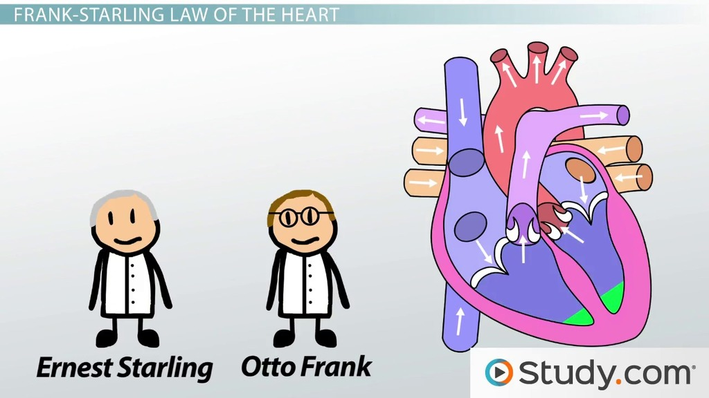 Regulation Of Heart Rate And Stroke Volume Video Lesson