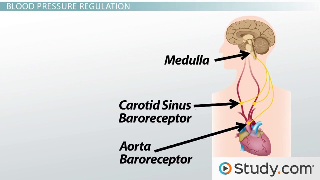 Regulation Of Blood Pressure Short Term Regulation Baroreceptors Video Lesson Transcript Study Com