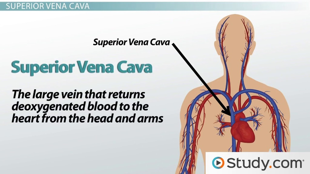 Major Blood Vessels Leading To The Heart Superior Vena Cava