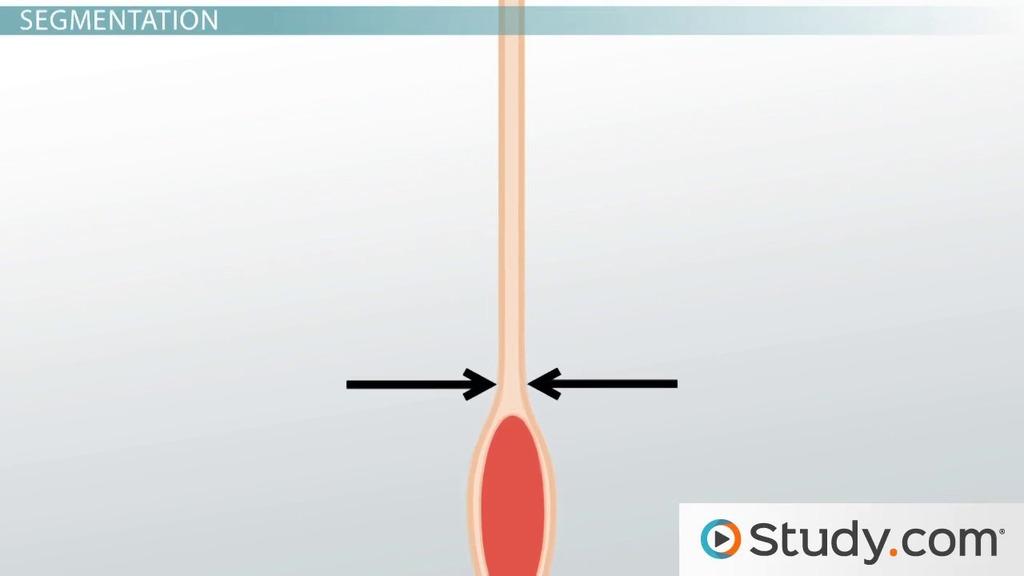 Movement Through The Small Intestine Peristalsis Segmentation