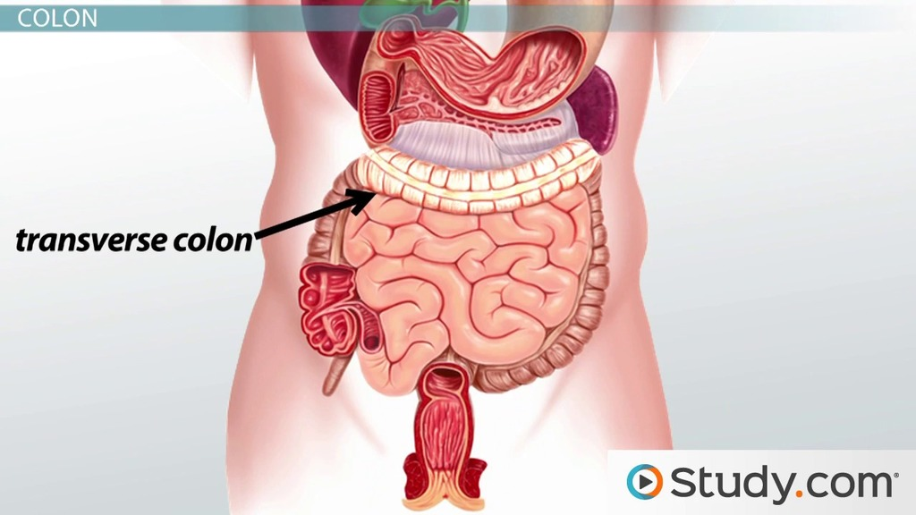 Anatomy and Physiology of the Large Intestine - Video & Lesson ...