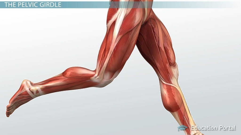 Muscular Function and Anatomy of the Upper Leg - Video & Lesson ...
