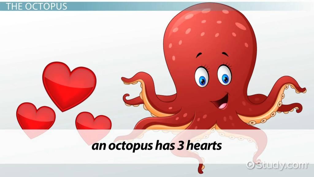 The Octopus Circulatory System