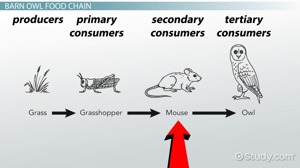 Energy flow through an ecosystem: trophic levels, food chain, food.